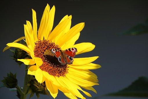 Palatinate, Münchweiler, Sun Flower