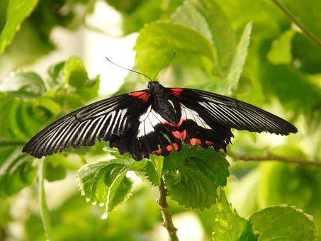 Scarlet Schwalbenschwanz, Butterfly, Papilio Rumanzovia