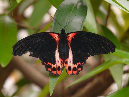 Butterfly, Scarlet Schwalbenschwanz, Papilio Rumanzovia
