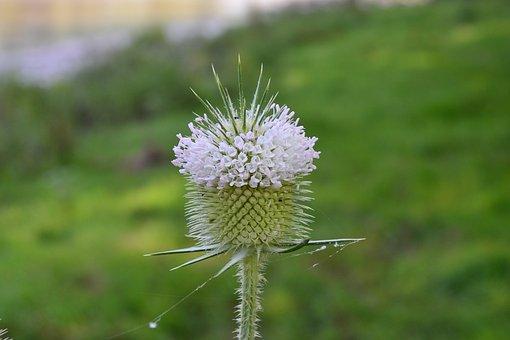Cocklebur, Nature, Herb, Green, Macro, Grass, Seed