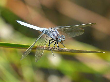 Blue Dragonfly, Stem, Wetland, Orthetrum Cancellatum