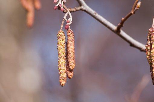 Inflorescence, Alder, Spring, Frühlingsanfang, Tree