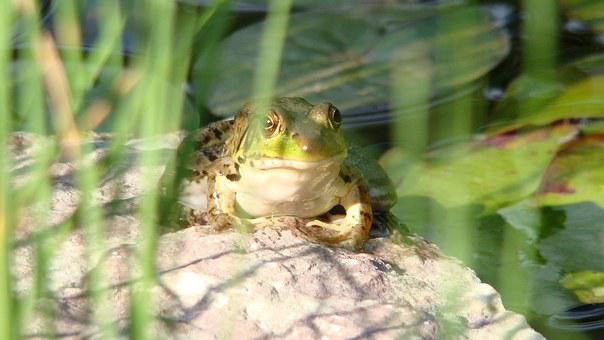 Bullfrog, Amphibian, Toad, Frog, Wildlife, Pond, Nature
