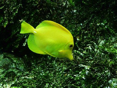 Yellow Segelflossendoktor, Fish, Zebrasoma Flavescens