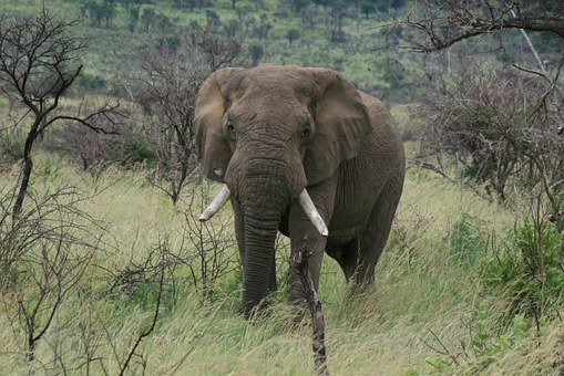 Elephant, Africa, Pilanesberg, Game Reserve, Lone Bull