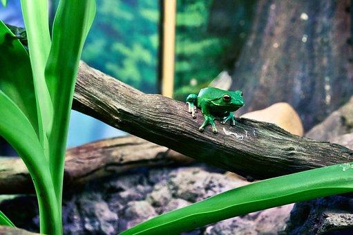 Amphibian, Animal, Frog, Green Tree Frog, Nature, Wood