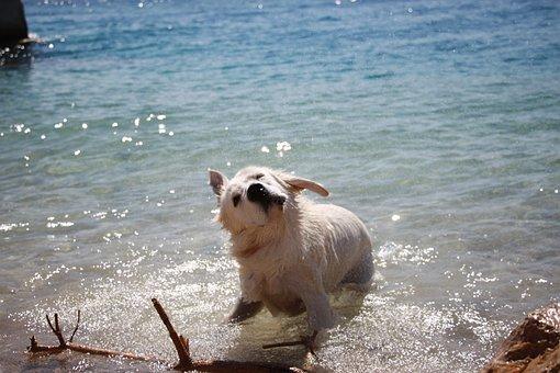 Golden Retriever, Dog, Shake, Happy, Pet, Animal