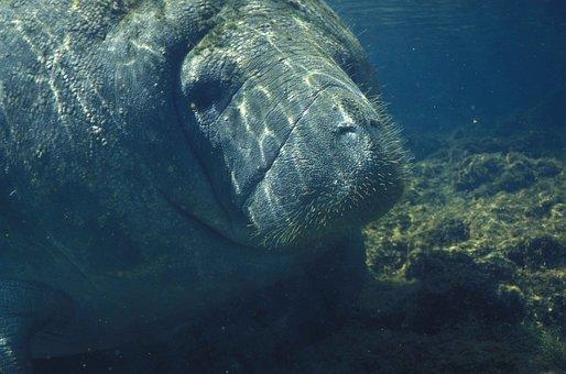 Manatee, Marine, Animals, Sea, Water, Ocean, Endangered