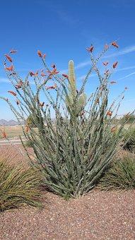 Desert, Plant, Nature, Tucson, Arizona, Cactus