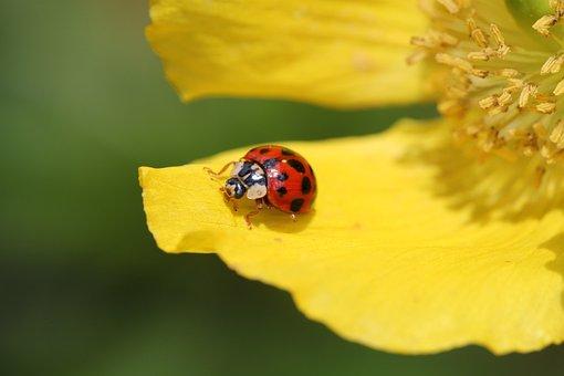 Ladybug, Flower, Blossom, Bloom, Beetle, Plant, Insect