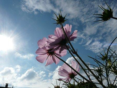 Flower, Blossom, Bloom, Light Pink, Translucent, Sky