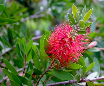 Bottlebrush, Blossom, Bloom, Red, Bottles, Brush