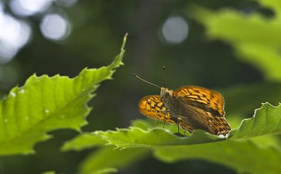 Butterfly, Fritillary, Summer, Insect, Orange, Forest