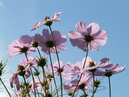 Cosmos, Cosmea, Flower, Flowers, Light Pink