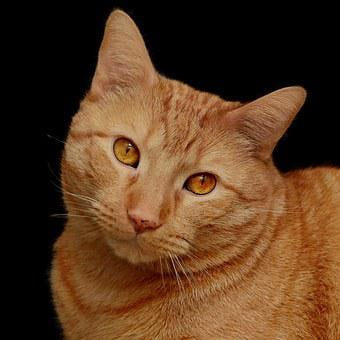 Cat, Feline, Orange, Cute, Cute Cat, Domestic, Animal