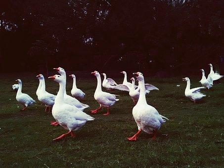 Ducks, White Feather, Flock, Park, Nature, Duck