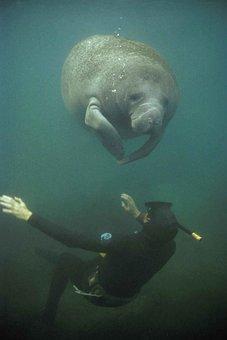 Manatee, Fauna, Marine, Sea, Endangered, Water, Seacow