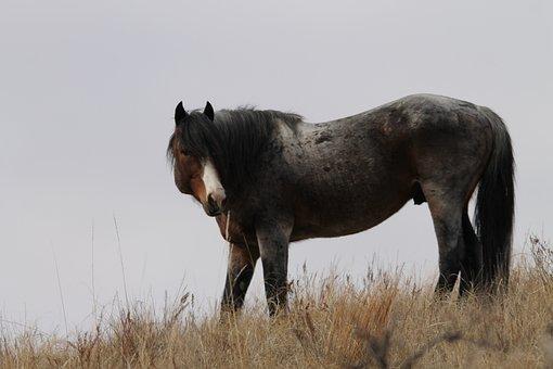 Wild Horse, Stallion, North Dakota, Equine, Pferd