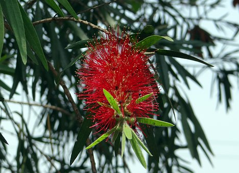 Callistemon, Bottlebrush, Flower, Tree, India, Flora