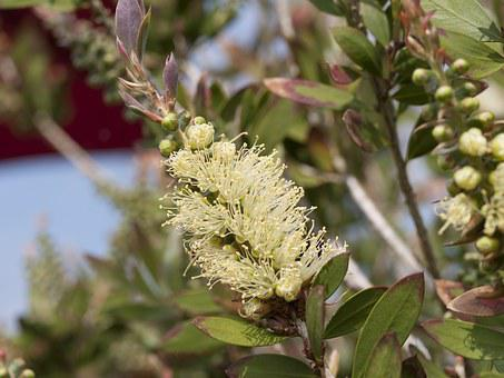 Yellow, Bottle Brush, Australia, Plant, Floral, Bloom