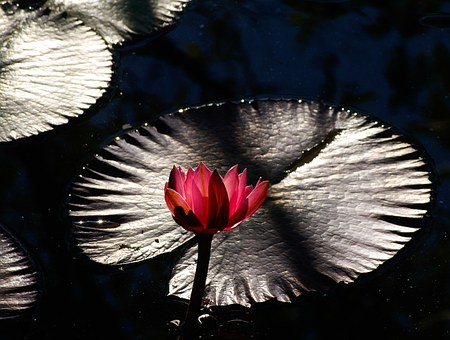 Waterlily, Lily, Water, Flower, Pink, Aquatic, Leaf