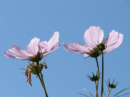Cosmos, Cosmos Bipinnatus, Flowers, Cosmea Bipinnata