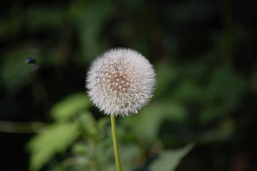 Dandelion, Flower, Nature, Fluff, Macro, Close Up