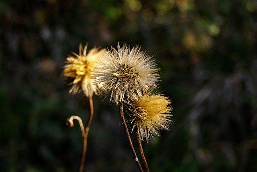 Fluff, Flower, Seeds, Hawkweed, Hieracium, Meadow