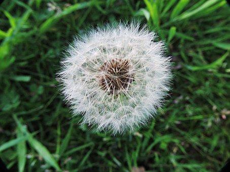 Dandelion, Fluff, Wishes, Grass, Green