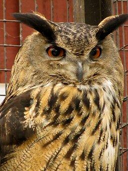 Eagle Owl, Bubo Bubo, Look, Birds Treated, Injured Bird