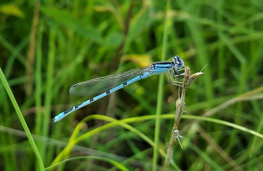 Familiar Bluet Damselfly, Damselfly, Insect, Insectoid