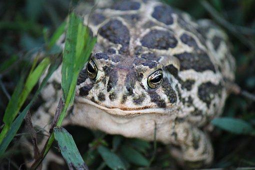 Great Plains Toad, Kröte, Toad, Prairie Toad