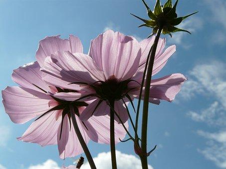 Blossom, Bloom, Light Pink, Translucent