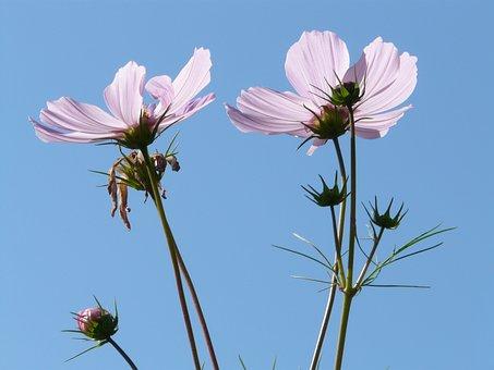 Cosmea, Flower, Blossom, Bloom, Light Pink, Translucent
