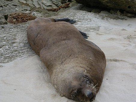 Fur Seal, Seal, Mammal, Animal, Wildlife, Arctic, Sea