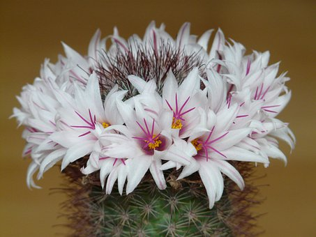 Flowers, Cactus, White, Bloom, Mammillaria Albicans