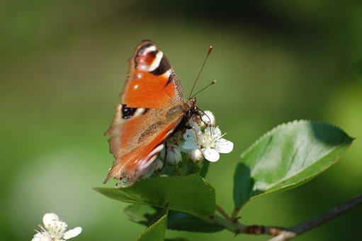 Butterfly, Nature, Garden, Peacock, Aglais Io
