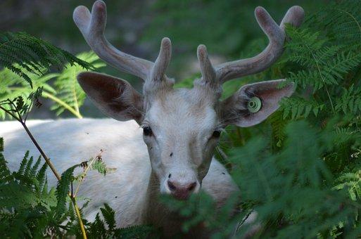 Deer, Wild Life, Nature, Plume, Green, Biche, Animals