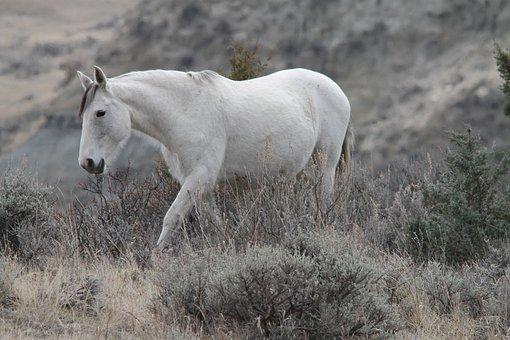 Wild Horse, Mare, Medora, North Dakota, Equine, Pferd