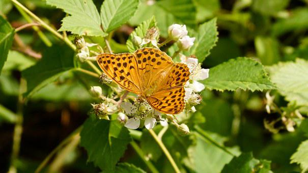 Butterfly, Orange, Silver-washed Fritillary