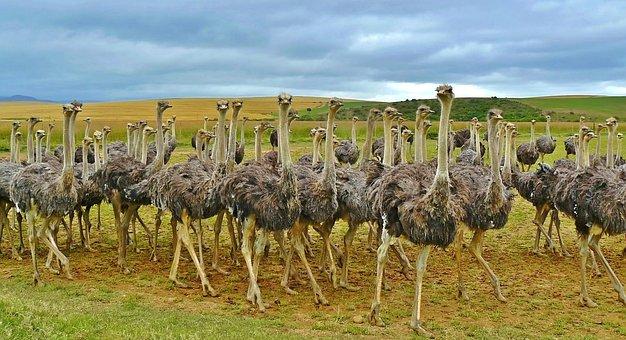 Ostriches, Birds, Bouquet, Ostrich, Animal, Africa