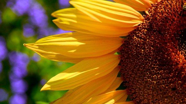 Sunflowers, Macro, Half, Petals, Yellow, Brown, Centre