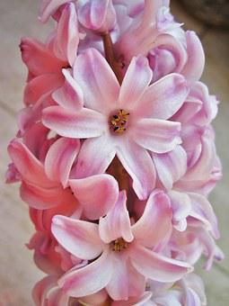 Pink Hyacinth, Partial View, Scented Plant, Spring