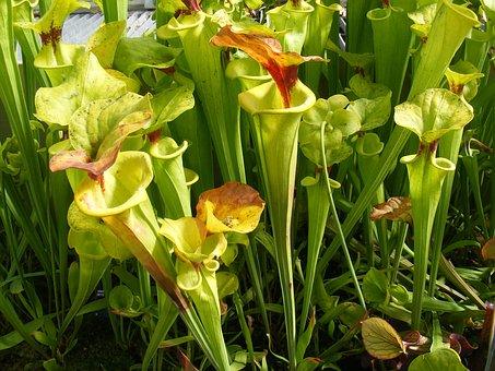 Carnivorous Plants, Insectivorous Plants, Floral, Plant