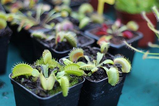Muchołapka, Plant, Insectivorous, Pot, House Plants