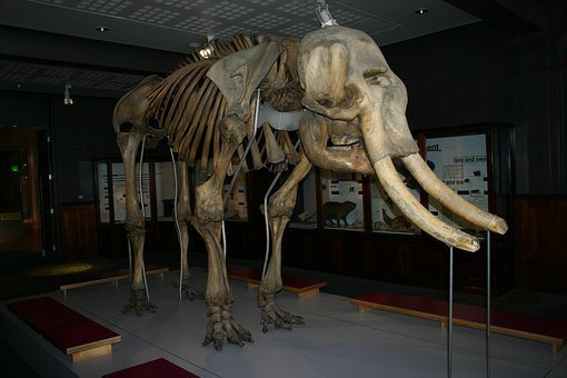 Mammoth, Woolly Mammoth, Extinct, Prehistoric, Tusk