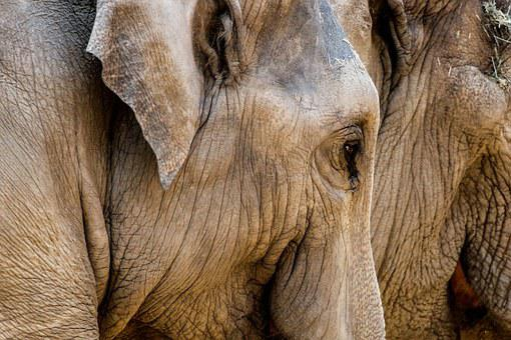 Elephant, Zoo, Proboscis, Pachyderm, Animal, Head