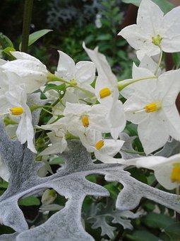 Jasmin, Ragwort, Blossom, Bloom, Leaf, White, Yellow