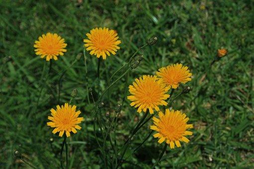 Flowers, Small, Round, Yellow, Dandelion, Veld