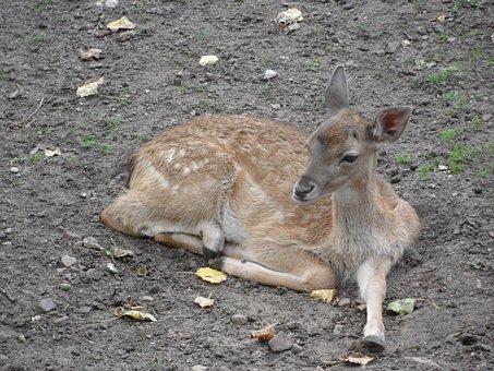 The Deer, Jelonek, Sarna, The Little Deer